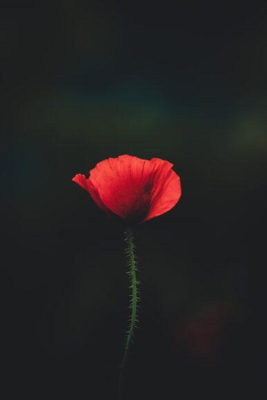 hình nền 4k cho điện thoại về một bông hoa
