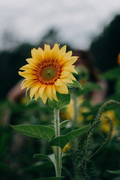 hình nền 4k cho điện thoại về một bông hoa hướng dương