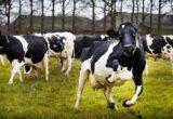 hình ảnh bò sữa nghe nhạc nhảy múa