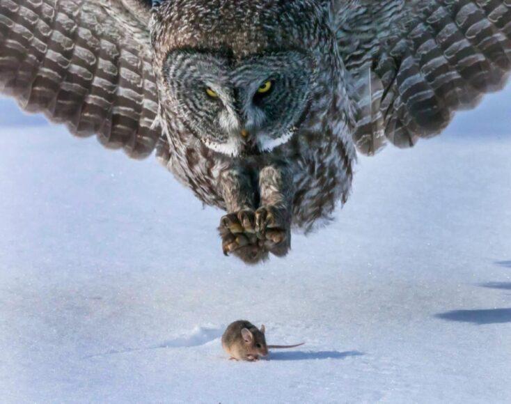 hình ảnh chim cú mèo săn mồi