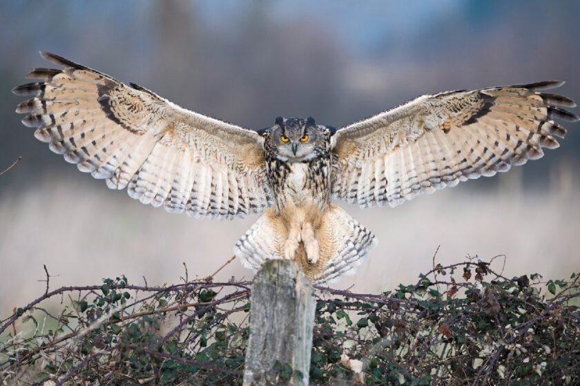hình ảnh chim cú mèo tung cánh bay