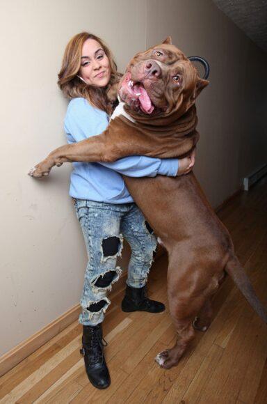 hình ảnh chó pitbull cỡ đại