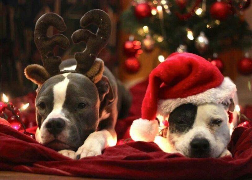 hình ảnh chó pitbull cute