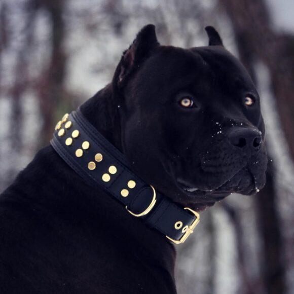 hình ảnh chó pitbull đen hiếm