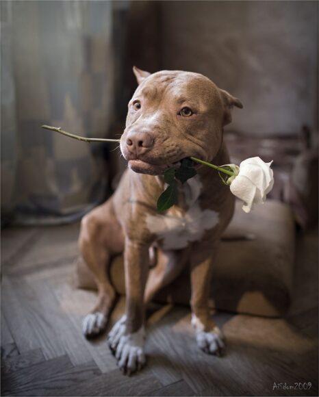 hình ảnh chó pitbull ngầu