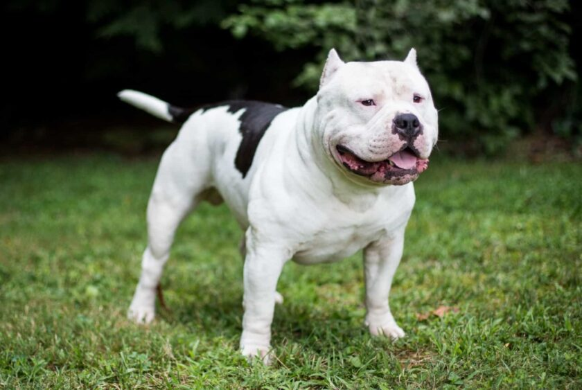 hình ảnh chó pitbull trắng tấn công