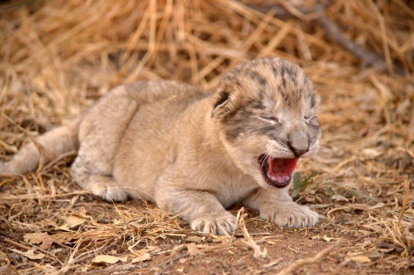 hình ảnh chú sư tử con dễ thương