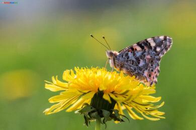 hình ảnh con bướm