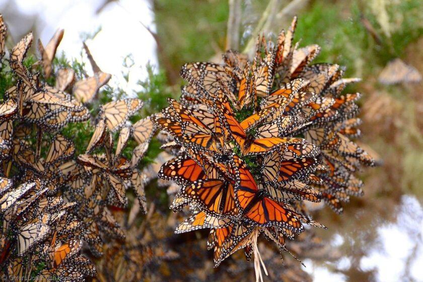 hình ảnh con bướm chúa đẹp theo đàn