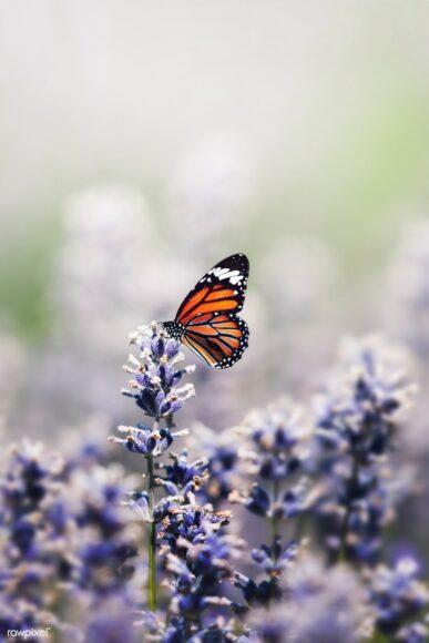 hình ảnh con bướm đẹp làm nền