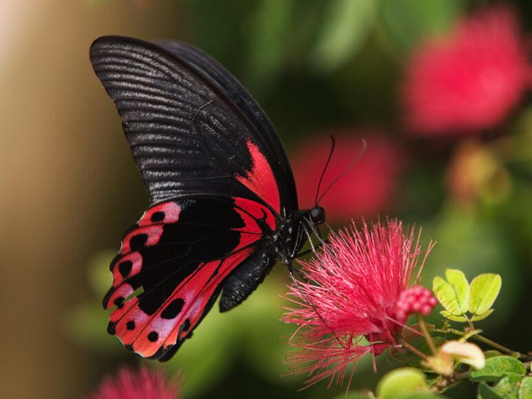 hình ảnh con bướm đẹp màu đỏ ma mị