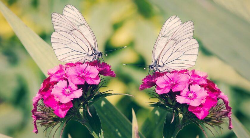 hình ảnh con bướm trắng xinh đẹp
