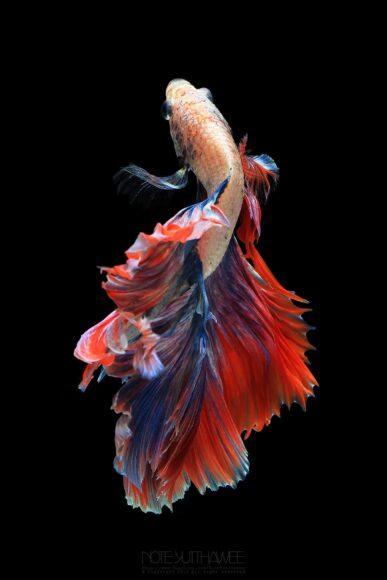hình ảnh con cá chọi đẹp như vũ nữ