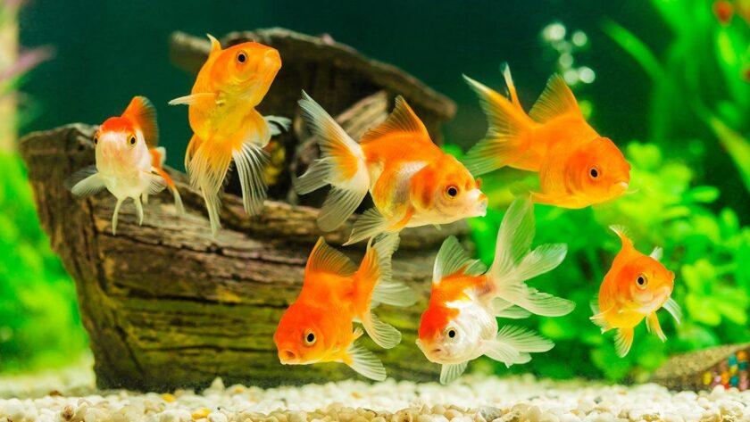 hình ảnh con cá vàng tươi mới sắc nét