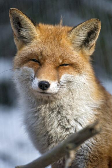 hình ảnh con cáo cười đáng yêu