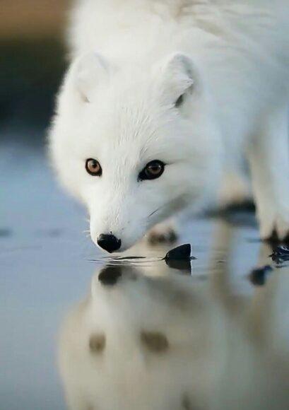 hình ảnh con cáo đứng trên băng