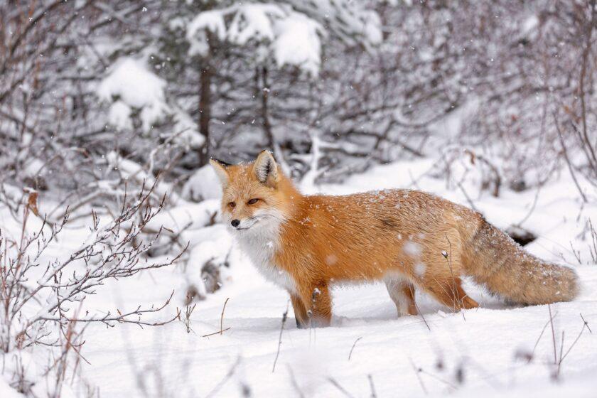 hình ảnh con cáo đứng trong tuyết