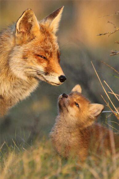 hình ảnh con cáo mẹ và cáo con