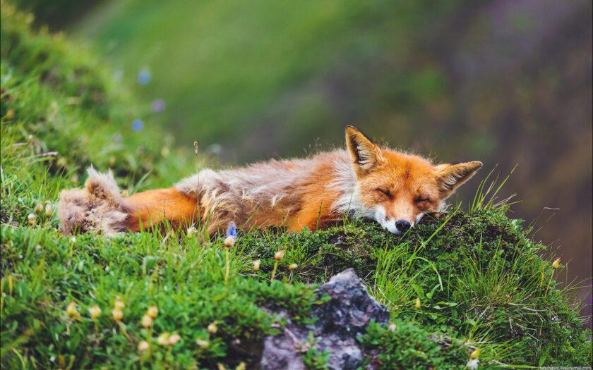 hình ảnh con cáo ngủ