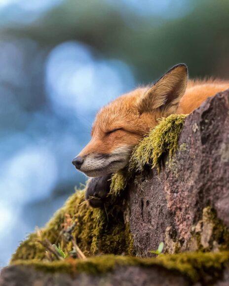 hình ảnh con cáo ngủ say
