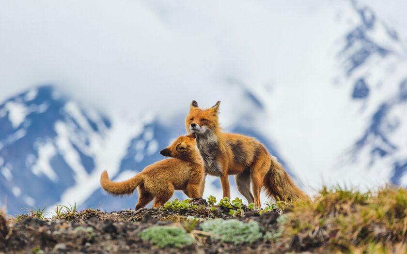 hình ảnh con cáo nô đùa trên triền núi