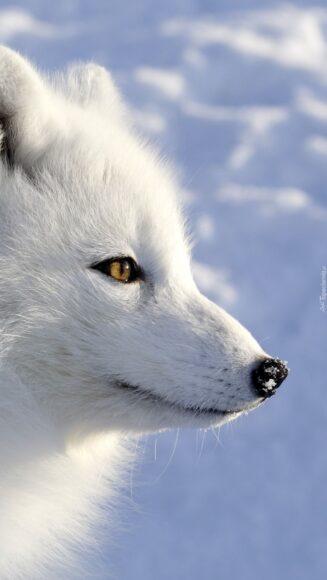 hình ảnh con cáo trắng như tuyết