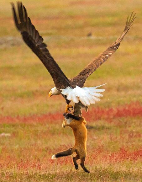 hình ảnh con cáo tranh giành đồ ăn với đại bàng