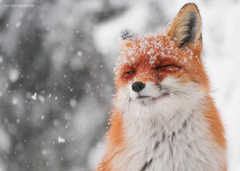 hình ảnh con cáo trong tuyêt