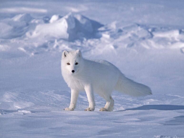 hình ảnh con cáo tuyết cô đơn