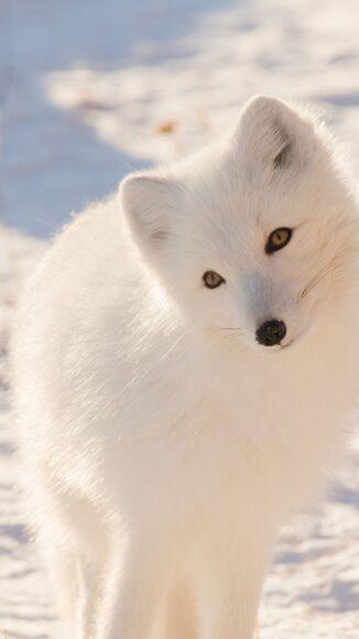 hình ảnh con cáo tuyết đẹp