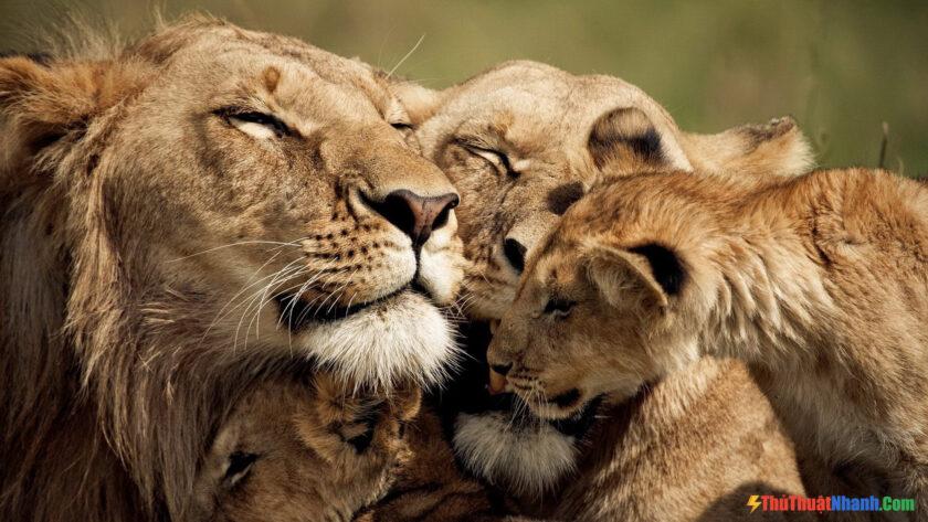 Hình ảnh sư tử con đang làm nũng bên bố mẹ