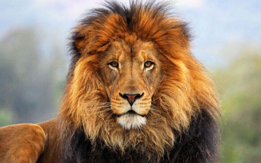 Hình ảnh sư tử đực oai phong