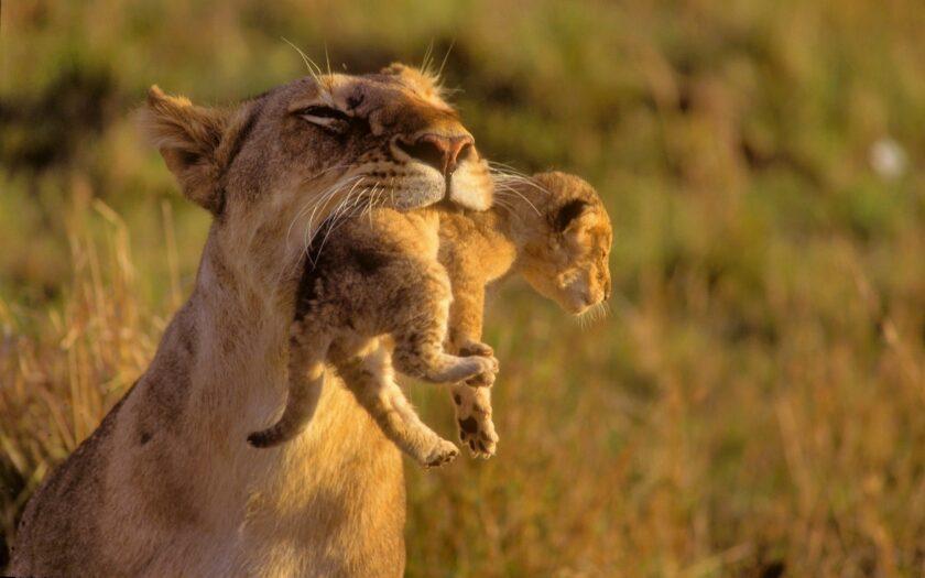 Hình ảnh sư tử mẹ đang bồng con