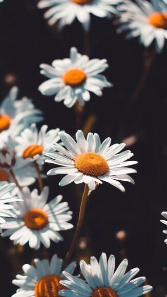 ảnh làm quotes hoa cúc daisy đẹp