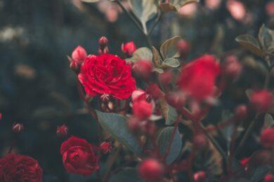 ảnh làm quotes hoa hồng quyến rũ