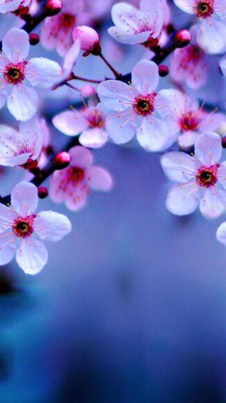 hình ảnh mùa xuân đẹp hoa anh đào