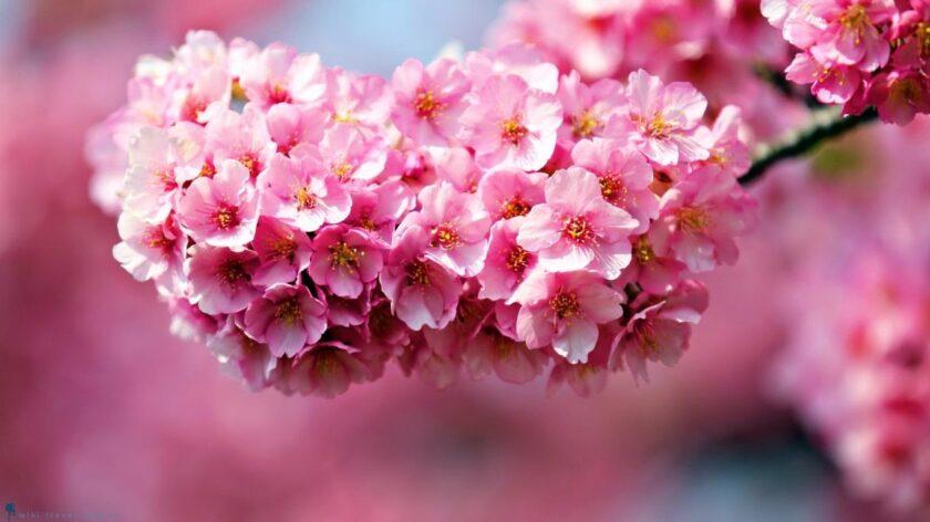 hình ảnh mùa xuân đẹp nhất với hoa anh đào xinh đẹp