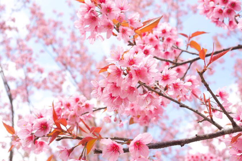 hình ảnh mùa xuân đẹp với hoa đào