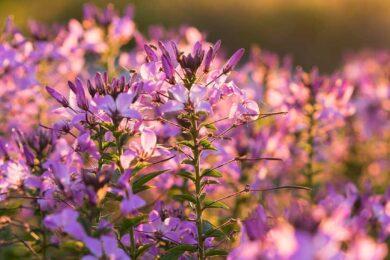 hình ảnh mùa xuân đẹp với hoa tím