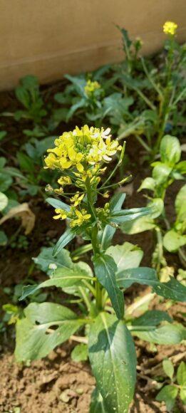 hình nền hoa cải vàng mùa xuân