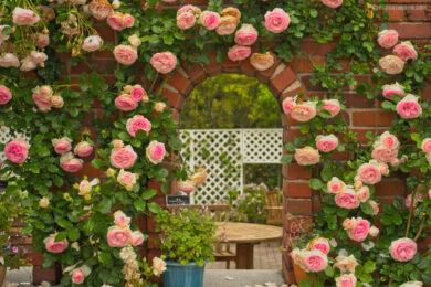 hình ảnh hoa hồng leo pháp đẹp nhất