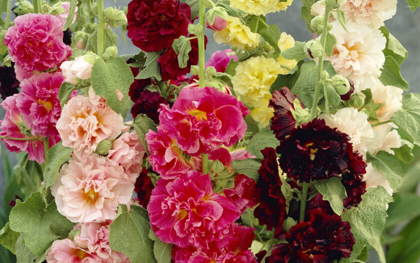 Alcea rosea Chater's Double mixed