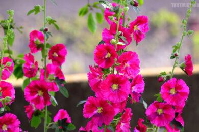 hình ảnh hoa mãn đình hồng tươi sáng